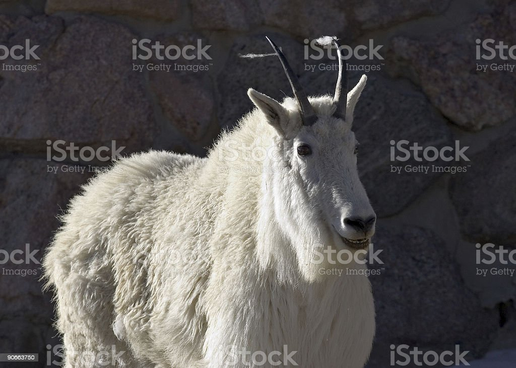 Female Mountain Goat on Mount Evans, Colorado stock photo