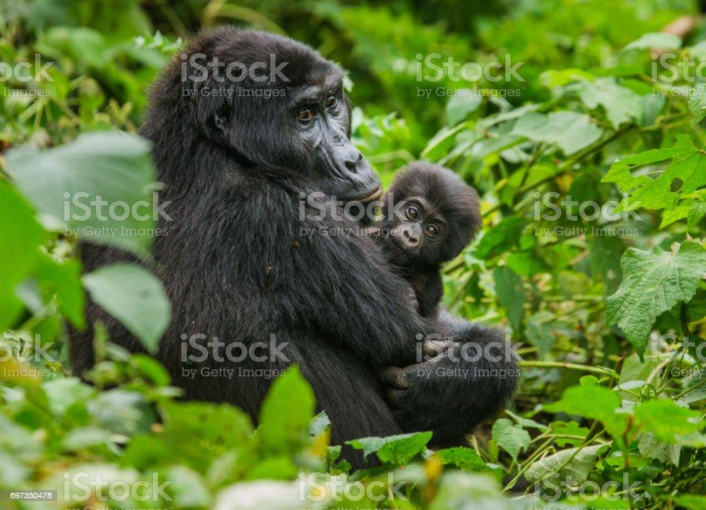 Female mountain gorilla with a baby. Uganda. Bwindi Impenetrable Forest National Park. stock photo