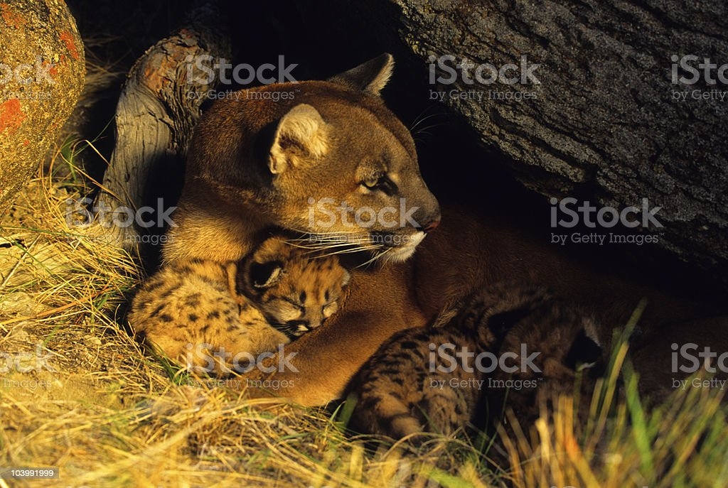 Female Mountain Lion and Kittens in Den stock photo