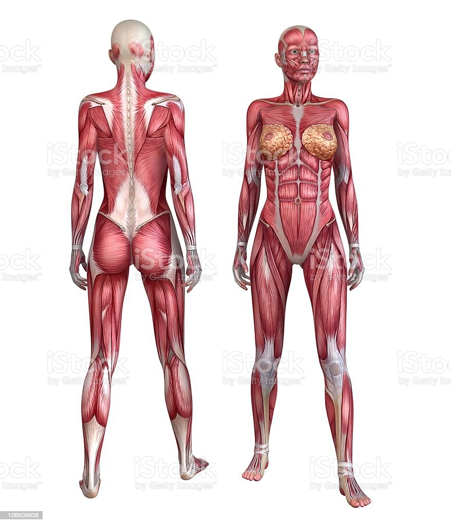 Female Muscle System Stock Photo & More Pictures of Anatomy | iStock