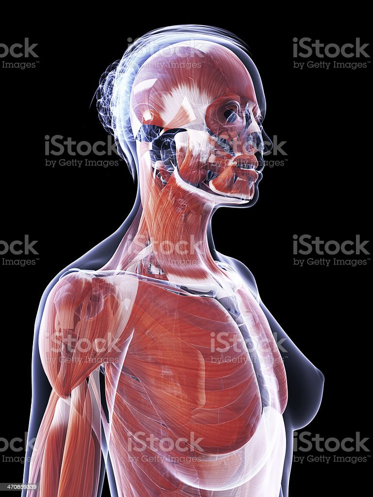 female muscle system - upper body royalty-free stock photo