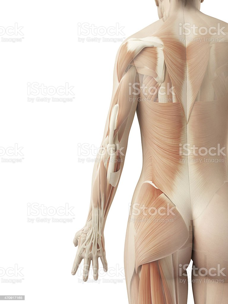 female muscles - arm stock photo