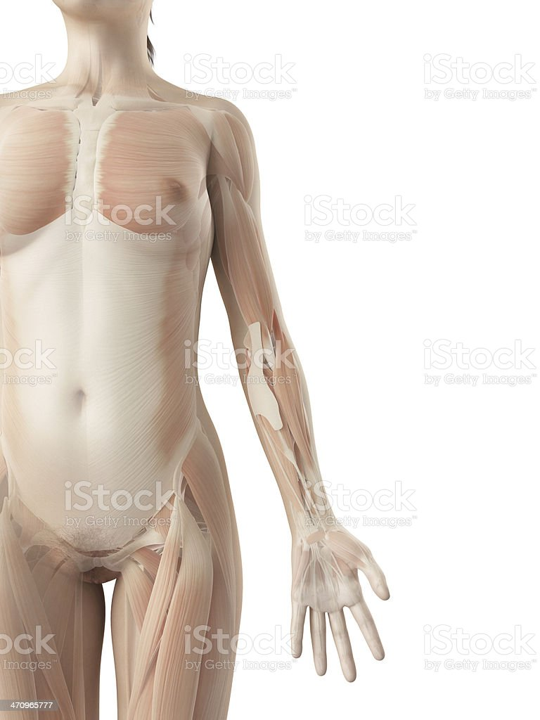 Female Muscles Arm Stock Photo & More Pictures of Anatomy | iStock