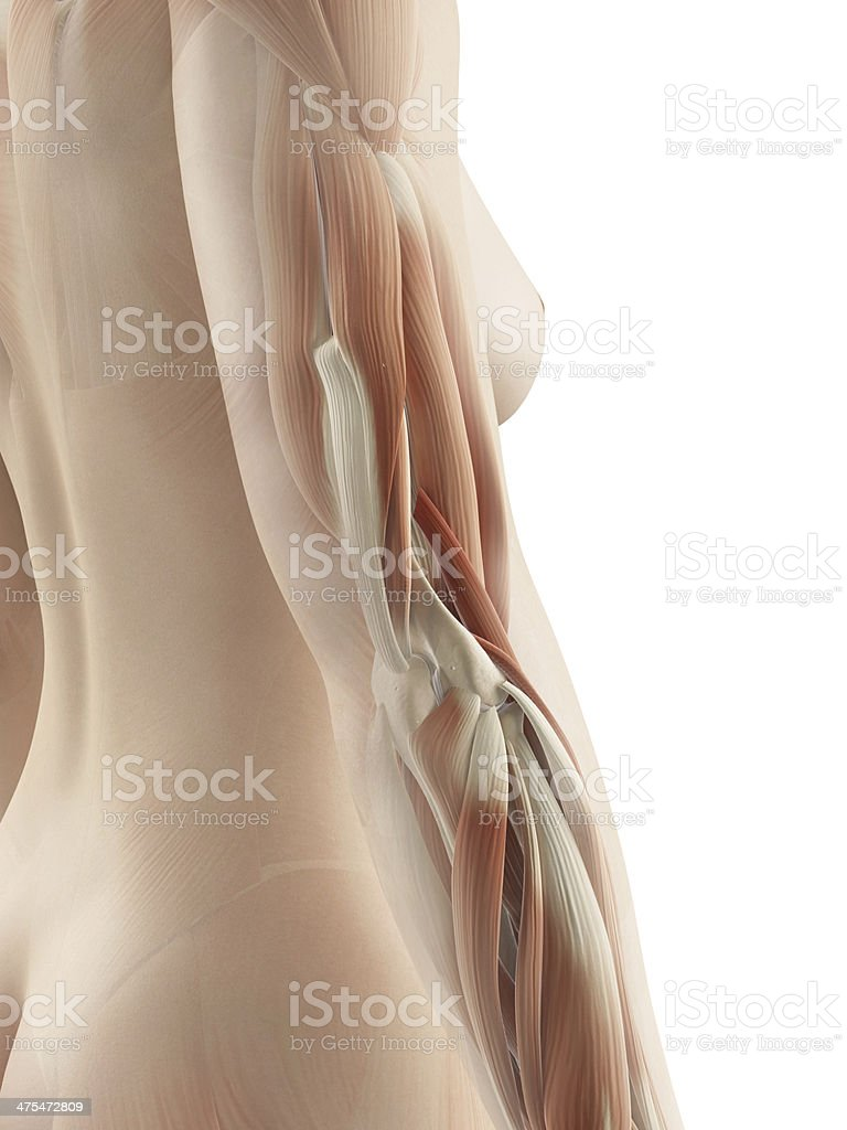 female muscles - elbow stock photo