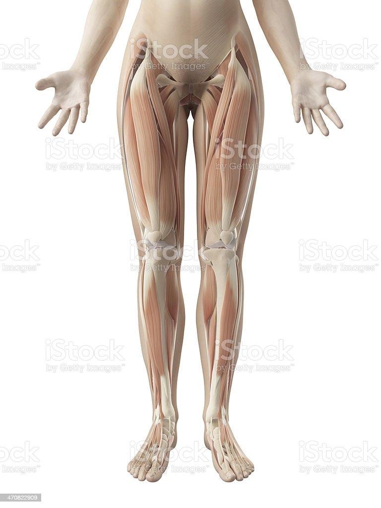 Weibliche Muskelnbeinen Stock-Fotografie und mehr Bilder von ...