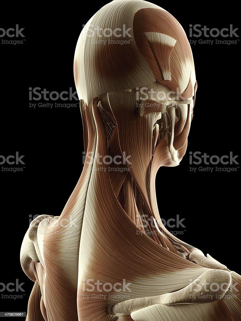 Fotografía de Hembra Músculos De Cuello y más banco de imágenes de ...