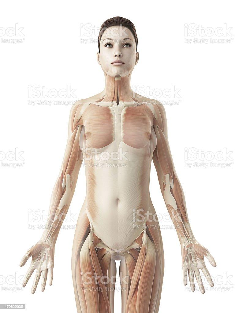 Weibliche Muskeln Im Oberkörper Stock-Fotografie und mehr Bilder von ...