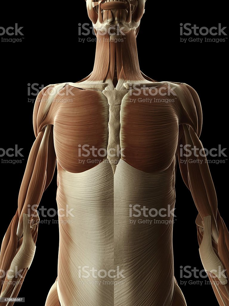 Female Muscles Upper Body Stock Photo & More Pictures of Anatomy ...