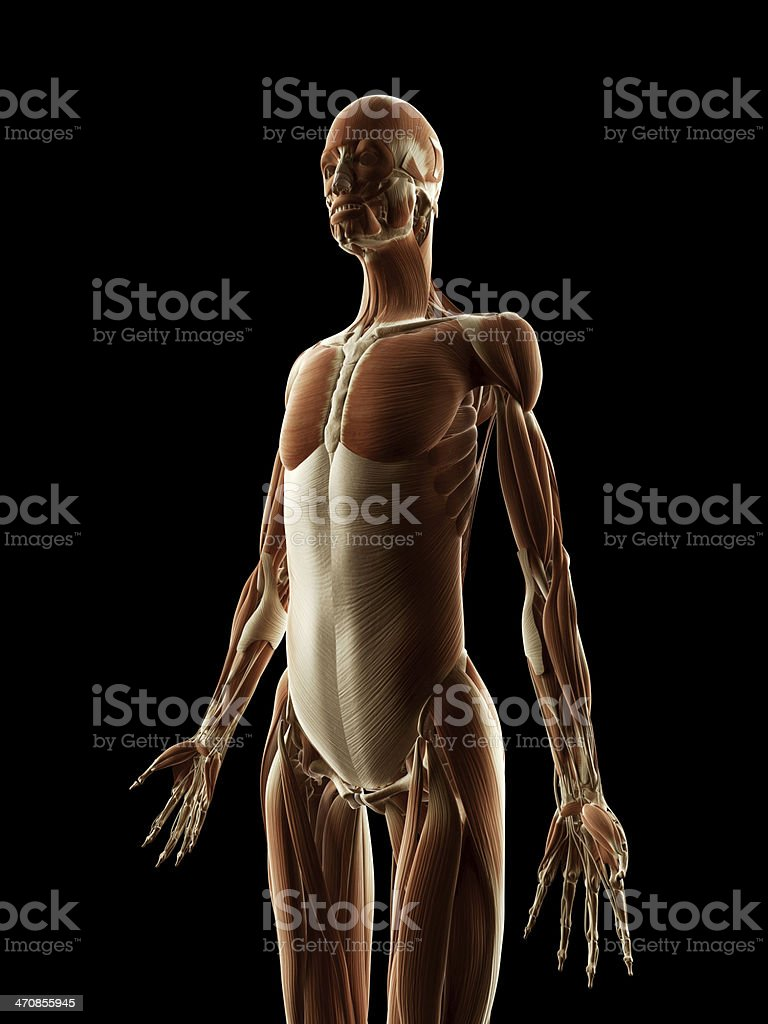 Female Muscles Upper Body Stock Photo More Pictures Of Anatomy
