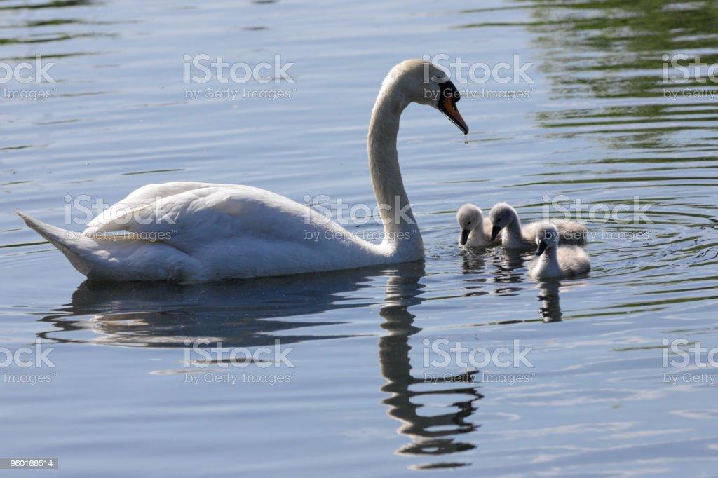 Female mute swan Cygnus olor with cygnets on Mitcham Pond stock photo
