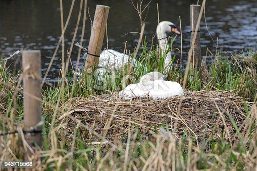 istock Female mute swan incubating eggs on the nest 943715568