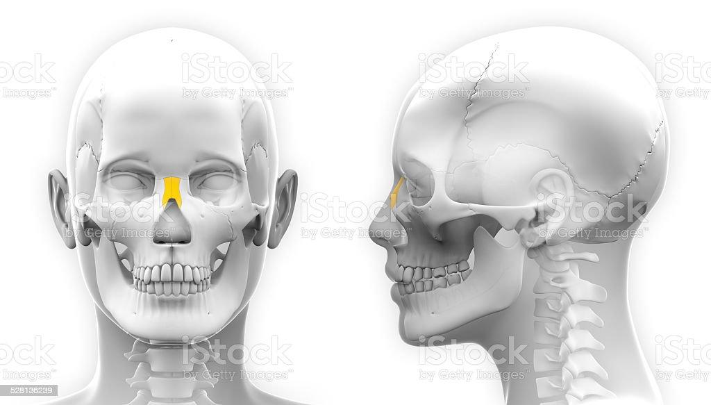Weibliche Nasen Knochen Schädel Anatomieisoliert Auf Weiss Stock ...
