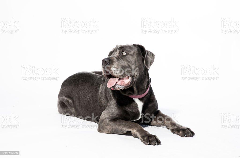 Female Neapolitan Mastiff Mix Lying Down - The Amanda Collection stock photo