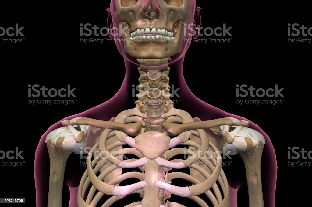 Female Neck And Shoulder Bones Stock Photo More Pictures Of