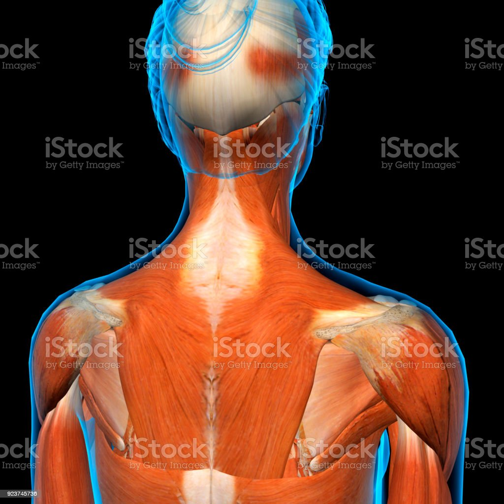 Female Neck Shoulder And Back Muscles Xray View Stock Photo More