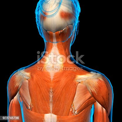 Female Neck Shoulder And Back Muscles Xray View Stock Photo & More ...