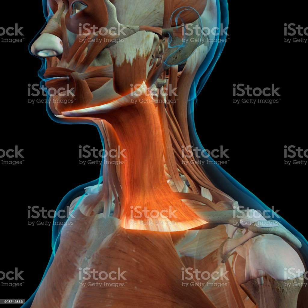Female Neck With Platysma Muscle Highlighted Stock Photo More