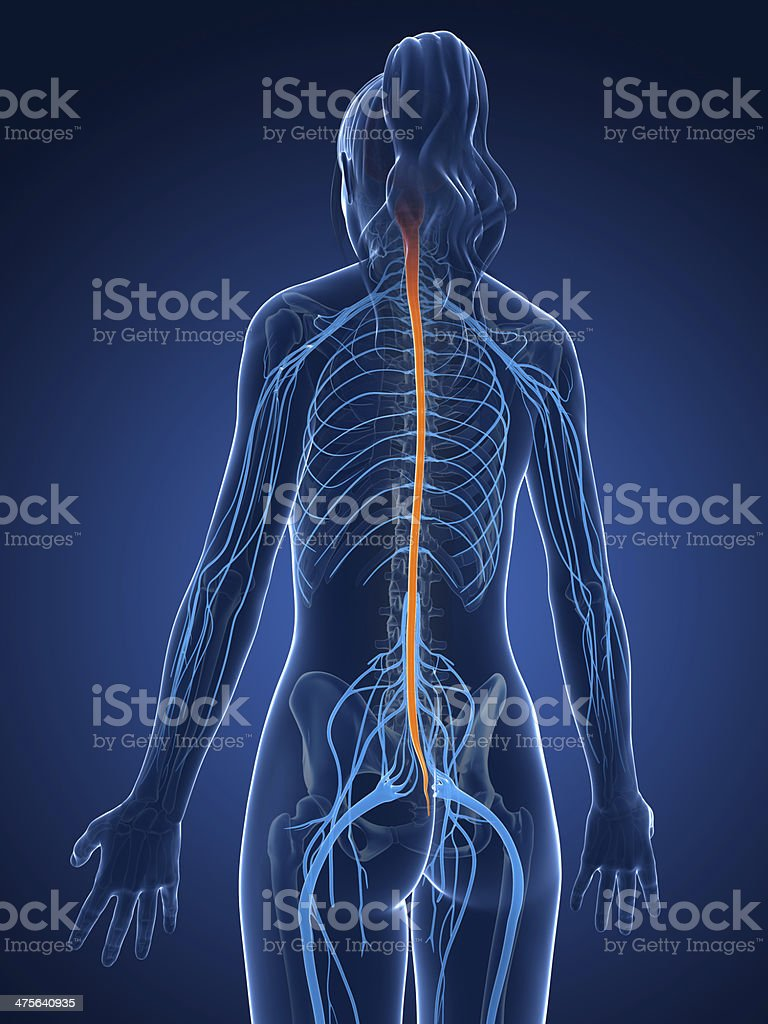 female nerves and brain stock photo
