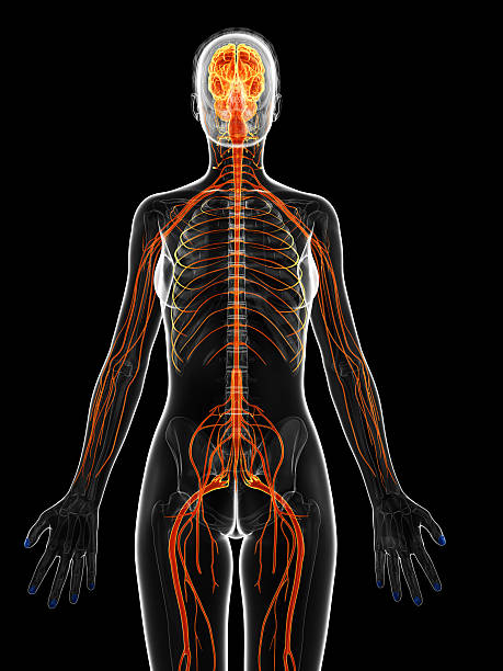 Royalty Free Human Nervous System Anatomy Female Human Skeleton