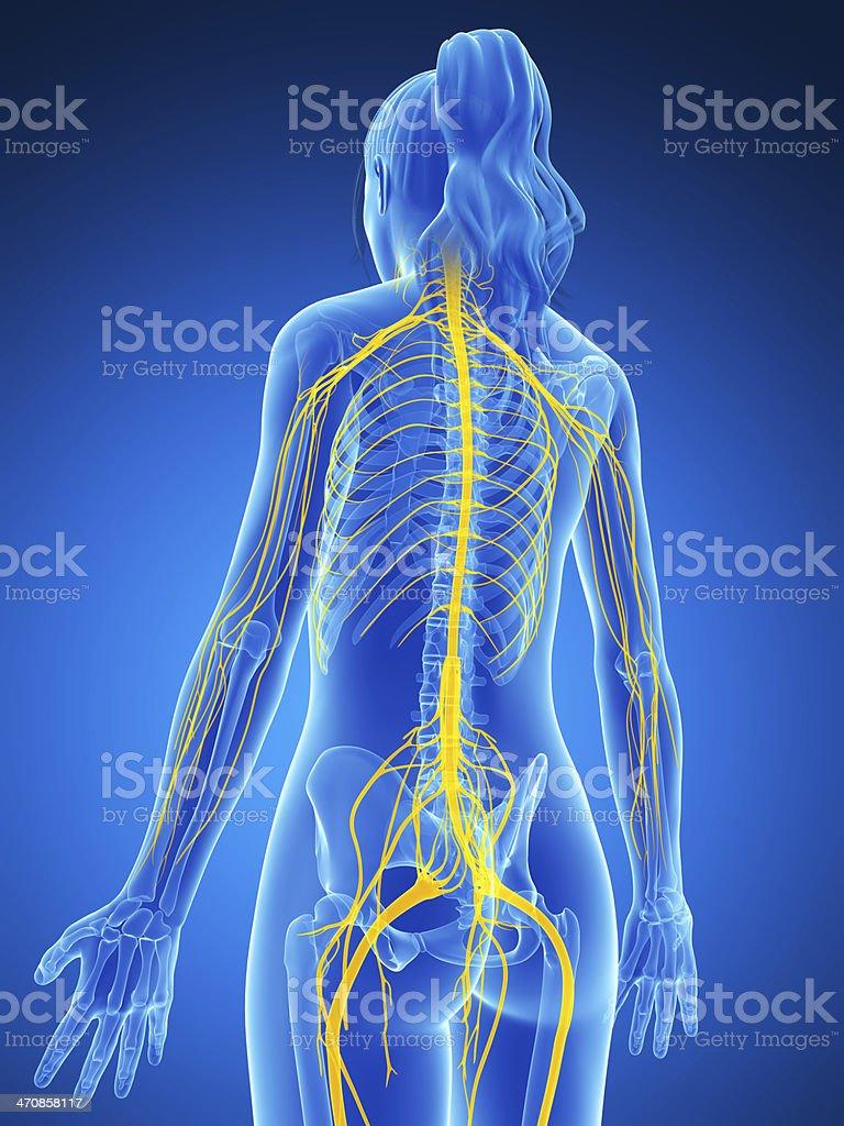 Fotografía de Hembra Del Sistema Nervioso y más banco de imágenes de ...