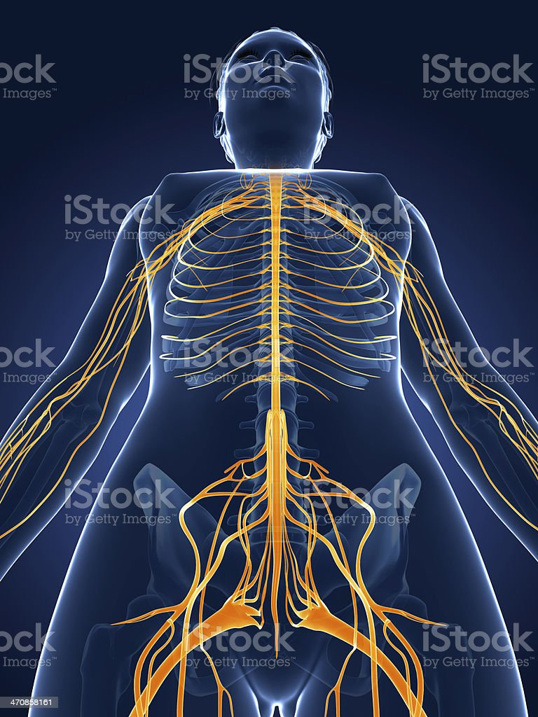 Female nervous system stock photo more pictures of anatomy istock female nervous system royalty free stock photo ccuart Images