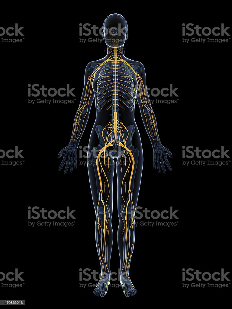 female nervous system stock photo