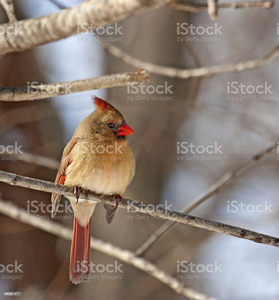 Female Northern Cardinal, Cardinalis royalty-free stock photo