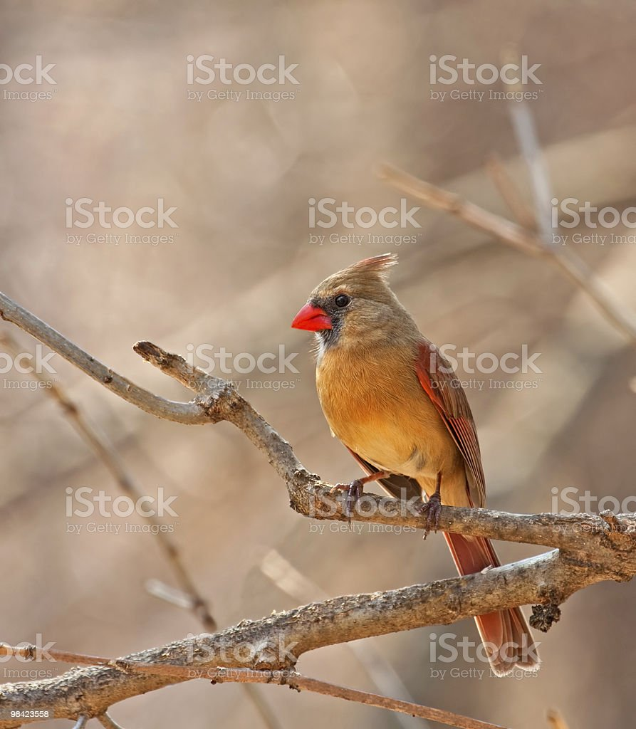 Female Northern Cardinal, Cardinalis royalty-free stock photo