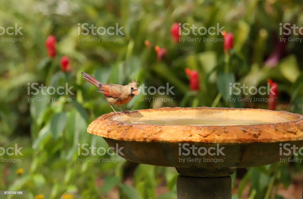 Female Northern Cardinal on bird bath stock photo
