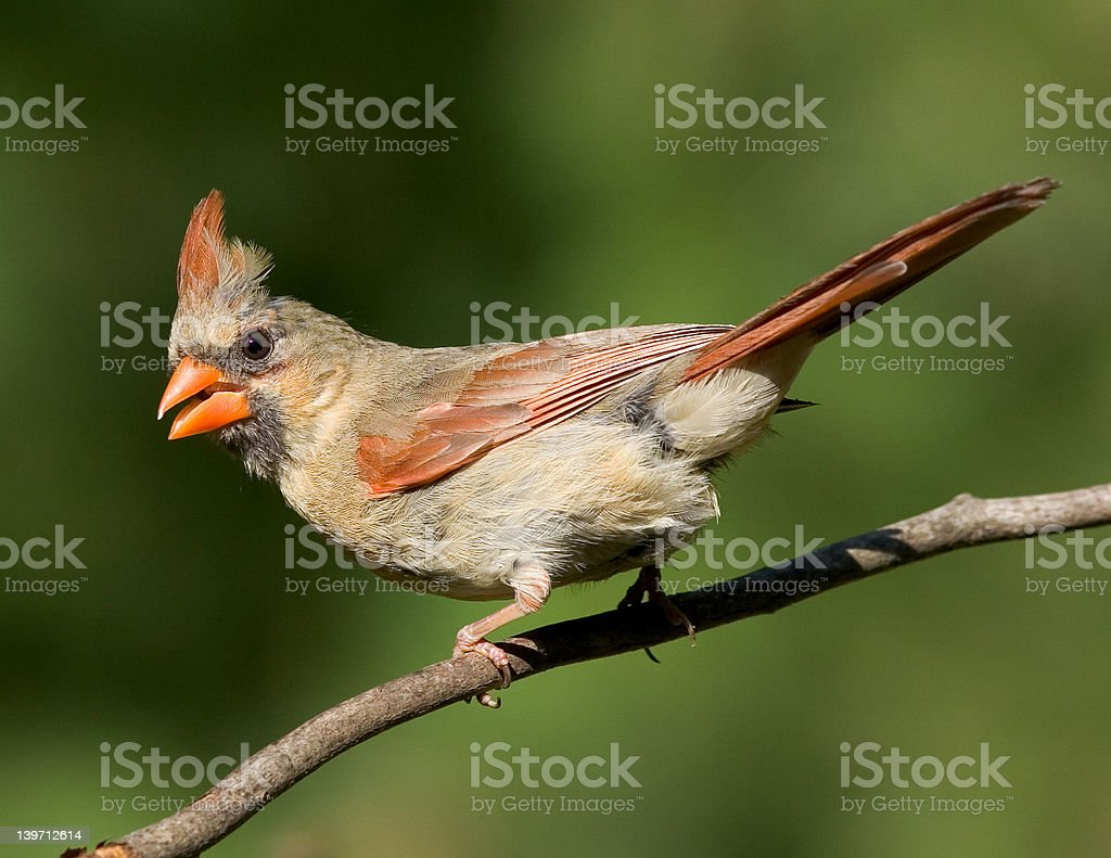 Female Northern Cardinal - Royalty-free Animal's Crest Stock Photo
