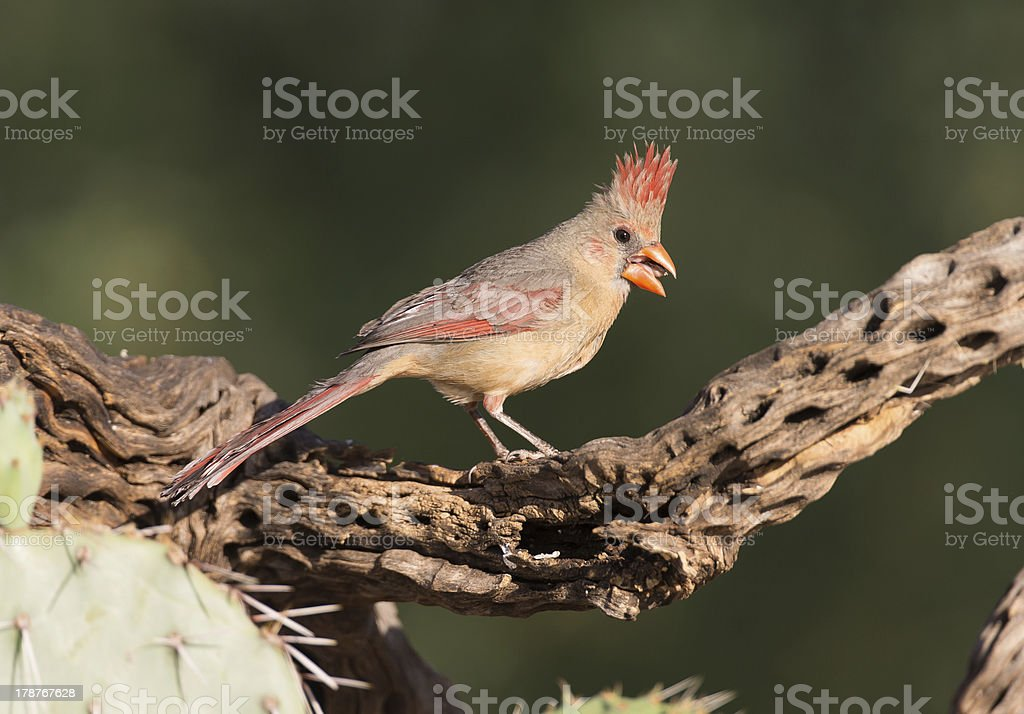 Female Northern Cardinal royalty-free stock photo