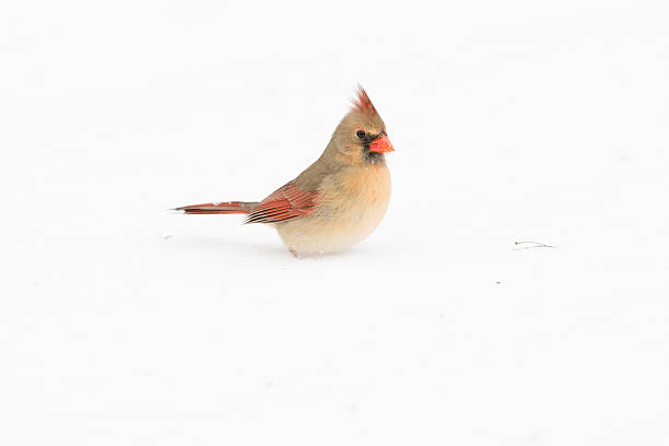 Female Northern Cardinal Female northern cardinal in the snow following a winter storm. female animal stock pictures, royalty-free photos & images