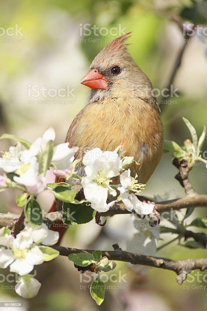Female Northern Cardinal (cardinalis) royalty-free stock photo