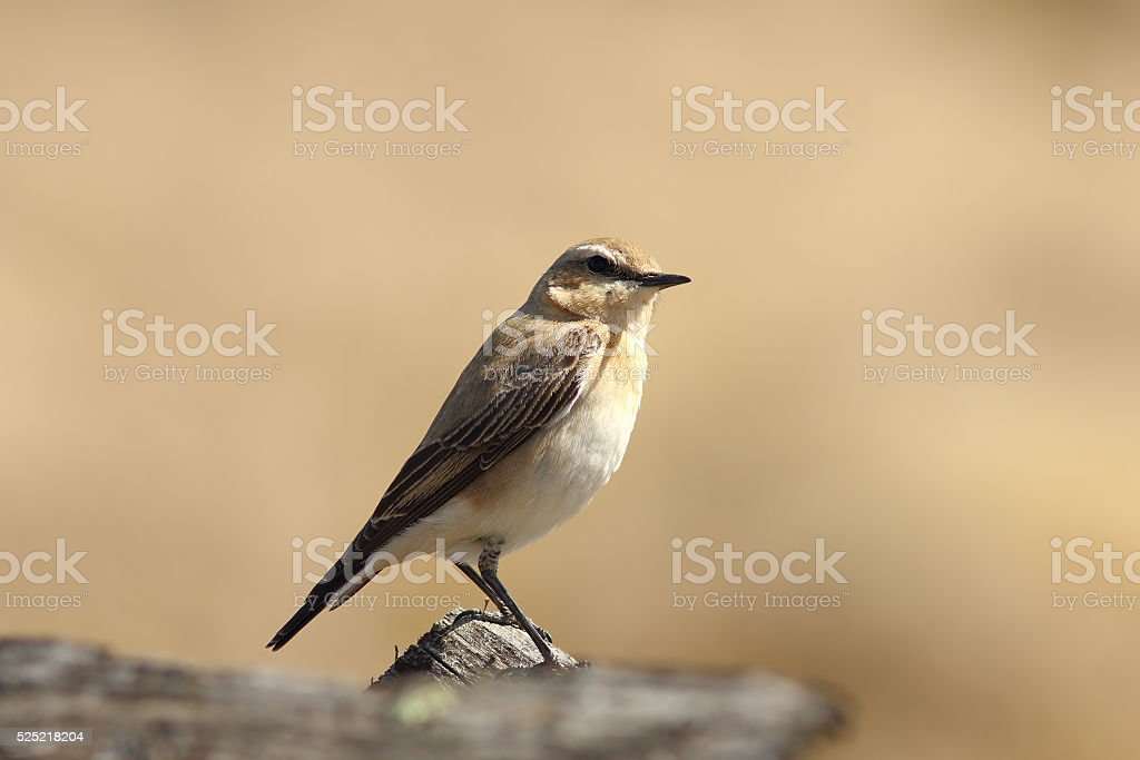 female northern wheatear close up stock photo