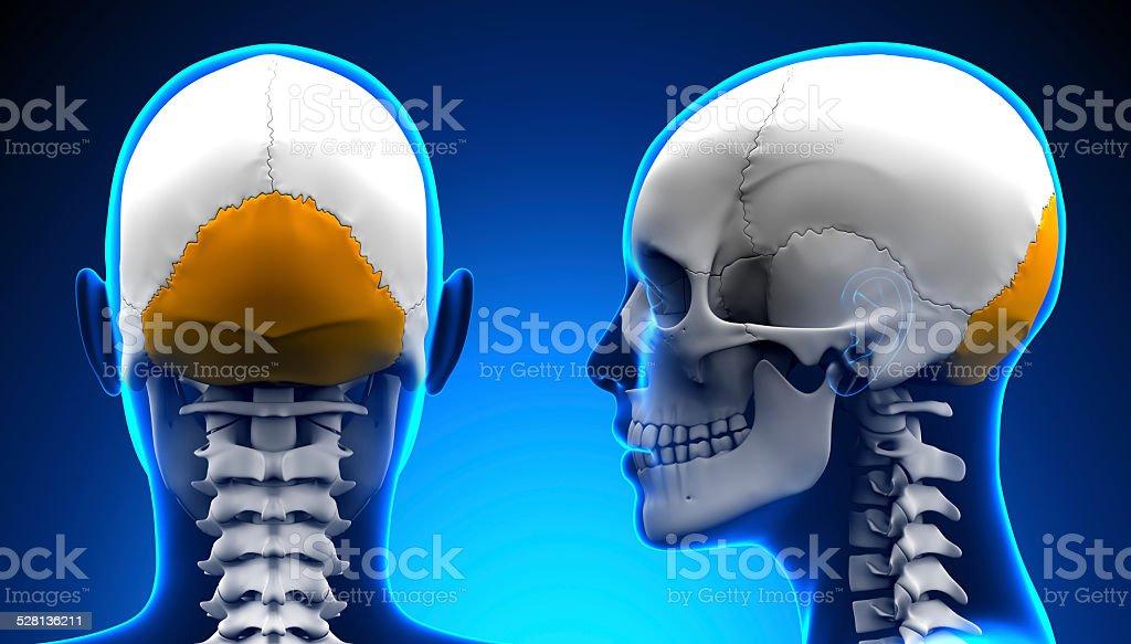 Fotografía de Hembra Hueso Occipital Cráneo Concepto De Anatomíaazul ...