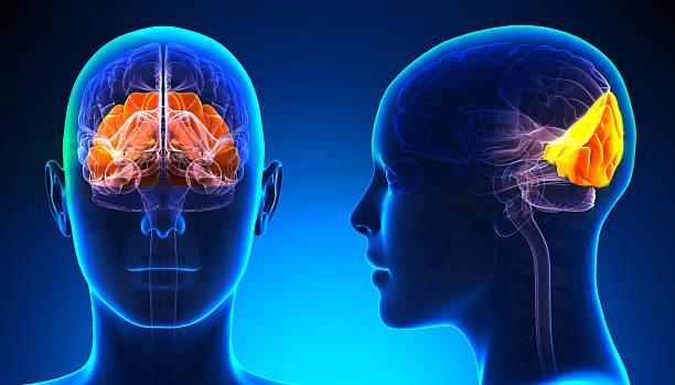 Female Occipital Lobe Brain Anatomy - blue concept Female Occipital Lobe Brain Anatomy - blue concept occipital lobe stock pictures, royalty-free photos & images