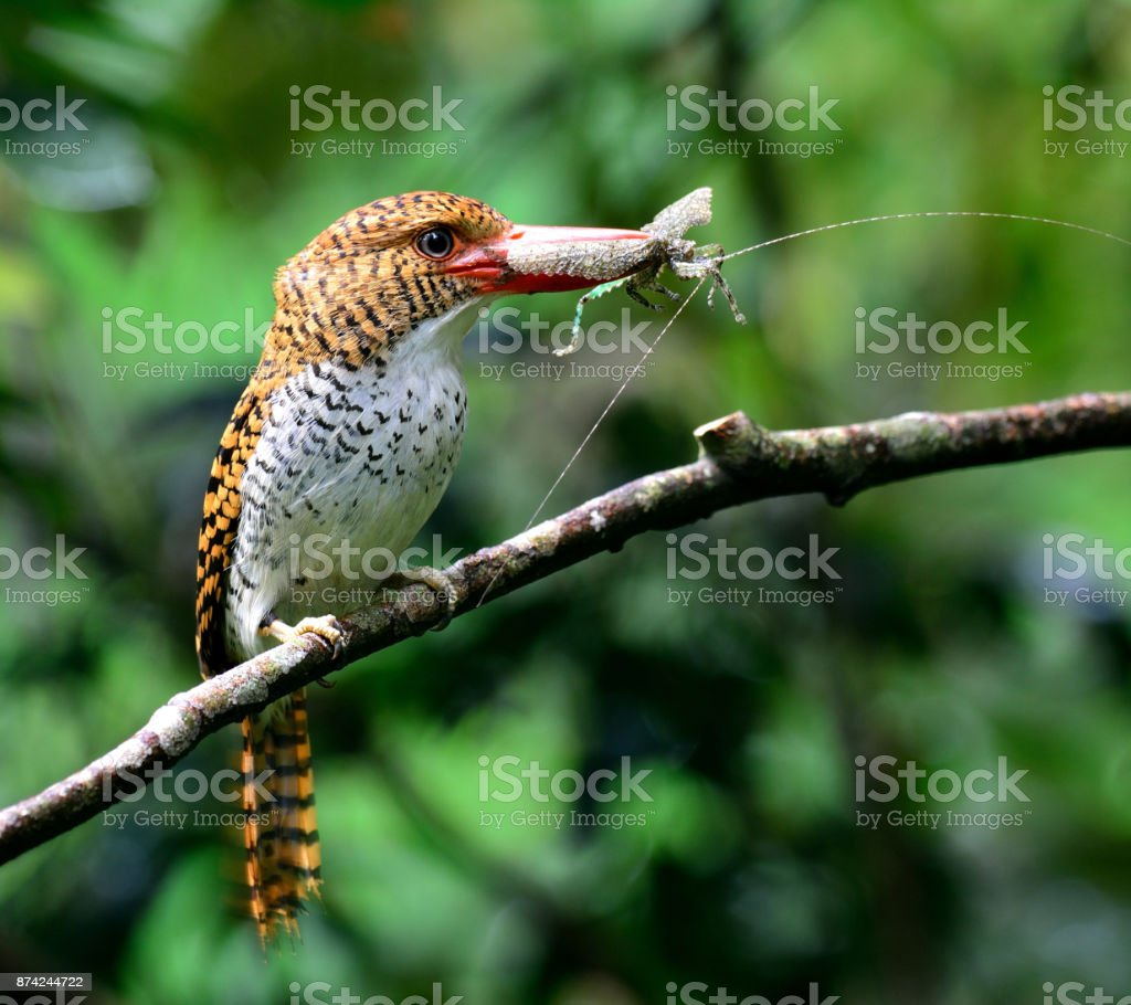 Female of Banded Kingfisher (Lacedo pulchella) the beautiful bro stock photo