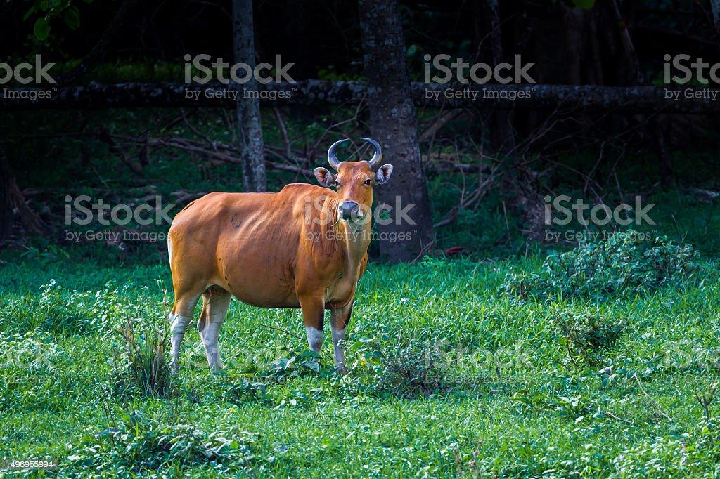 Female of Banteng (Bos javanicus) stock photo