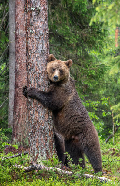 Female of Brown bear stands on its hind legs by a tree in a summer forest. stock photo