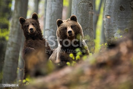 istock Female of brown bear together with her cub in the woods 1200948514