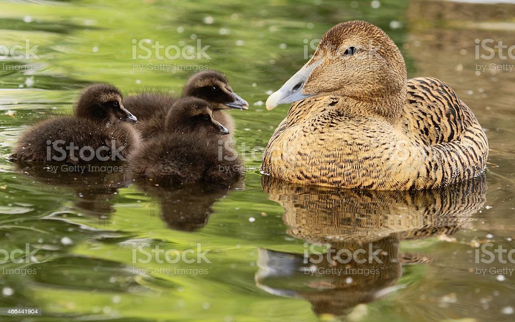 female of Common Eider with chickens - Somateria mollissima stock photo