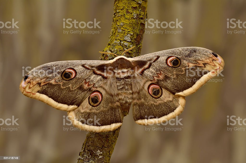 Female of Giant Peacock Moth (Saturnia pyri) on a branch stock photo