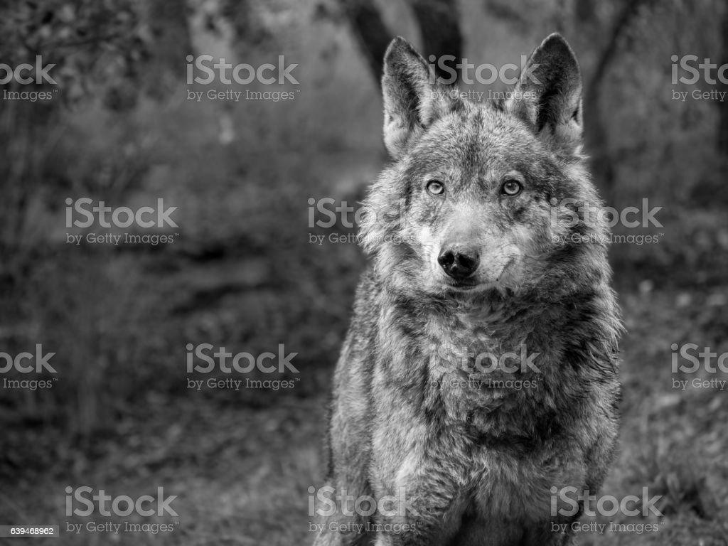 Female of iberian wolf (Canis lupus signatus) - foto de acervo
