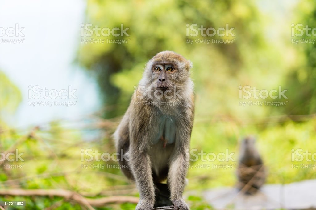 Female of Long tailed Macaque stock photo