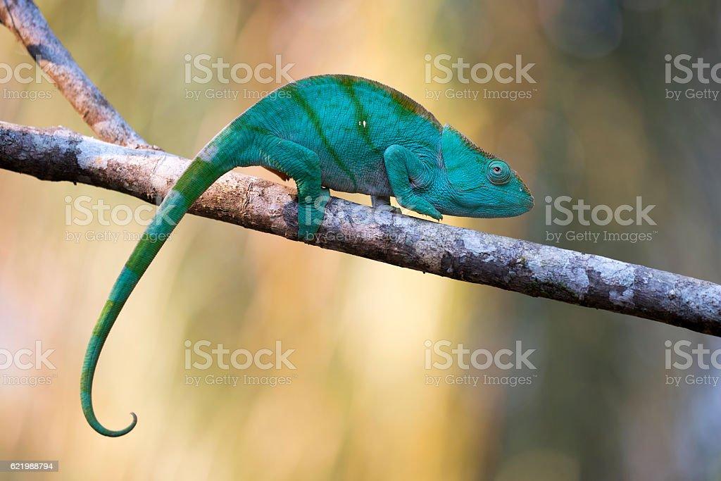 Female of Parson chameleon stock photo