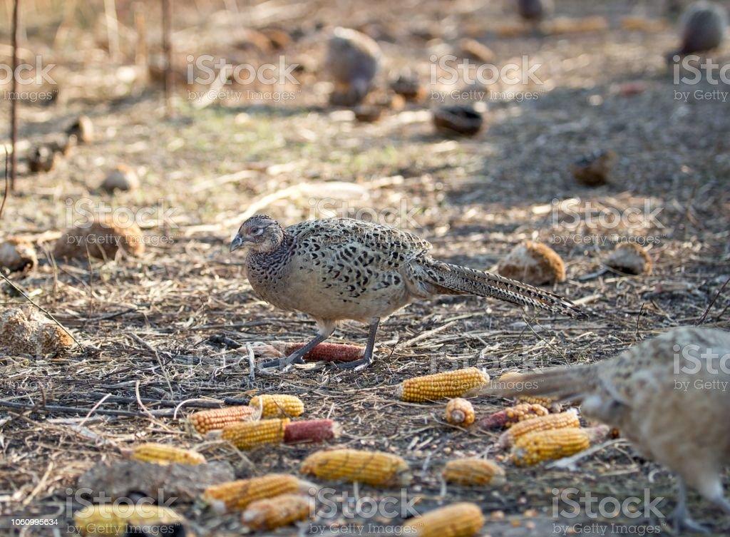 Female of pheasant stock photo