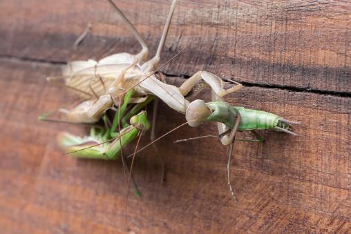 Green adult female Mantis religiosa portrait in blue background.