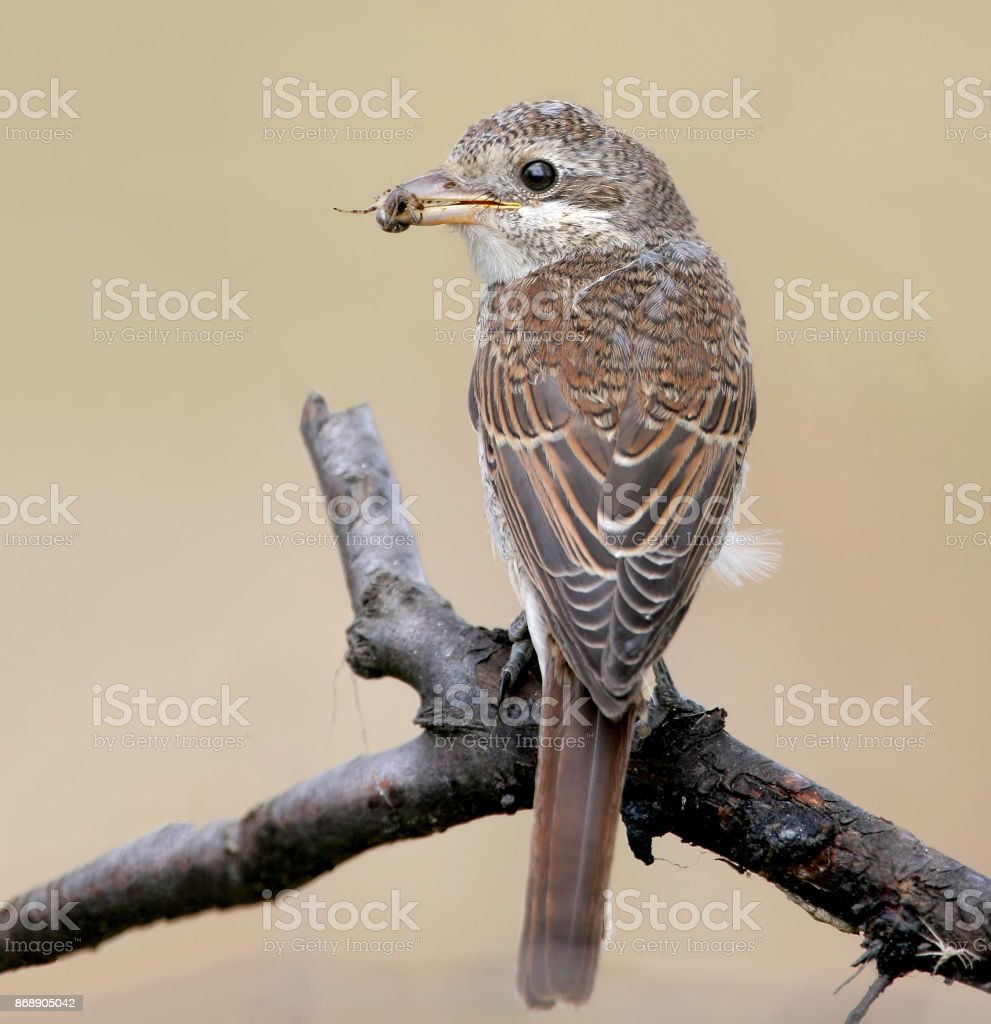 A female of red backed shrike hold a spider in beak. Isolated on beige blurred background stock photo
