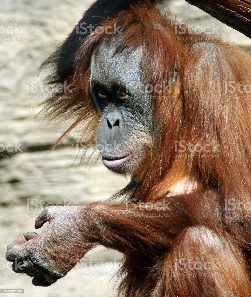 Female of Sumatran orangutan (Pongo abelii) stock photo