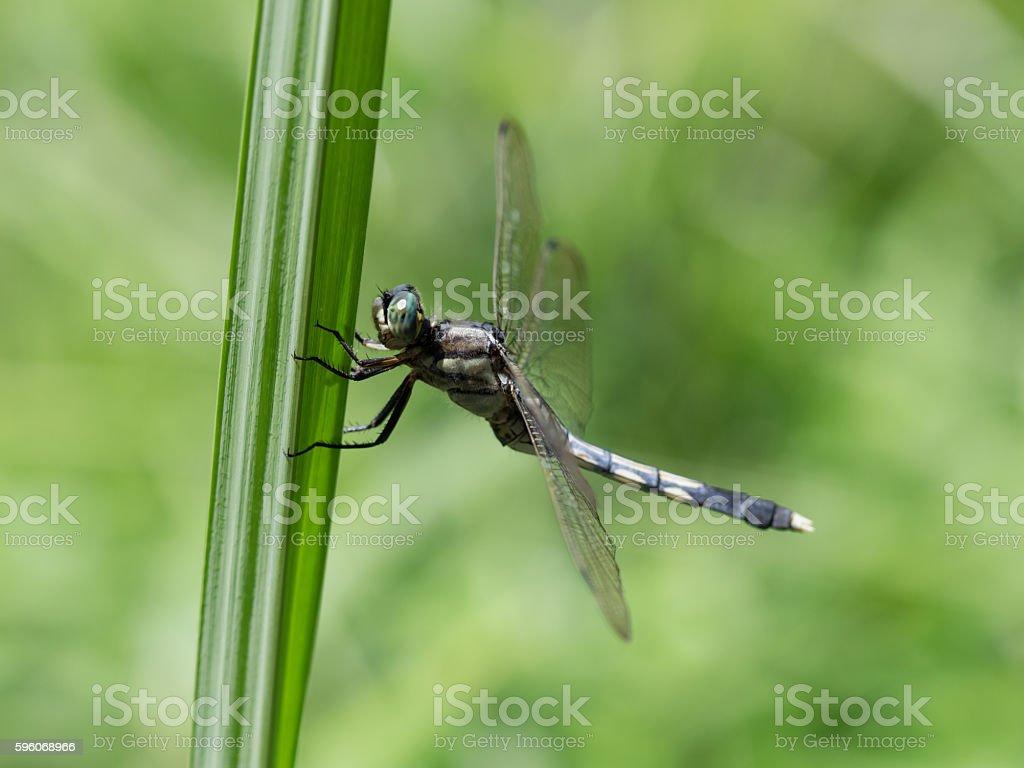 Female of the Common skimmer – Foto